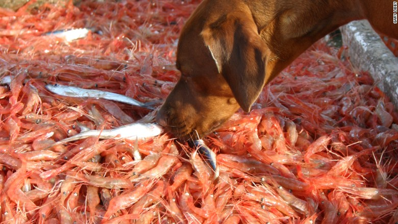Gary Libby shrimp climate
