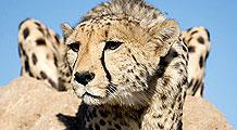 Where cheetahs roam